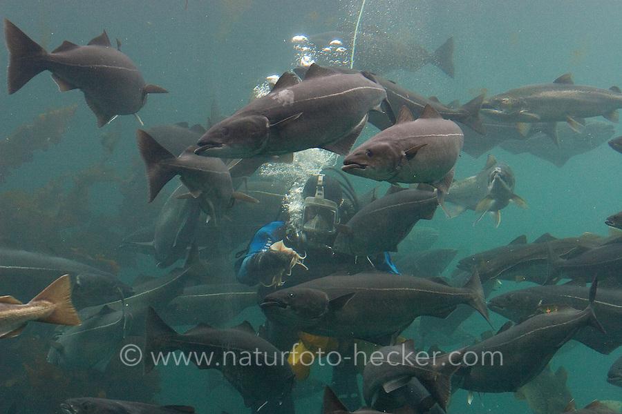 Meeresaquarium, Taucher füttert die Fische in einem riesigen Becken während einer Vorführung, marines Aquarium mit Meeresfischen, Schauaquarium, Alesund, Norwegen