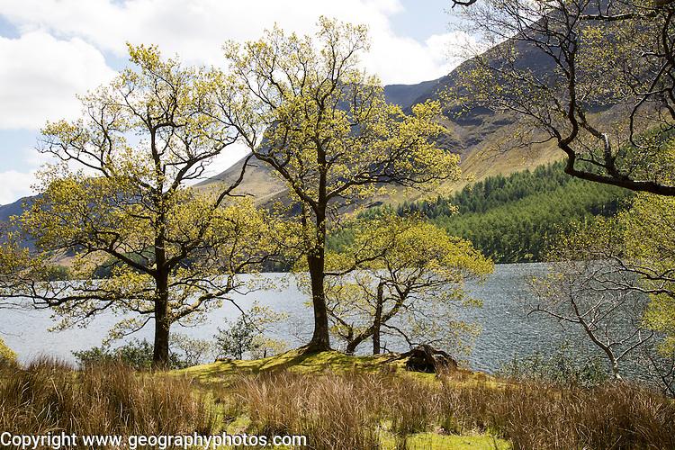 Lakeside woodland, Lake Buttermere, Lake District national park, Cumbria, England, UK