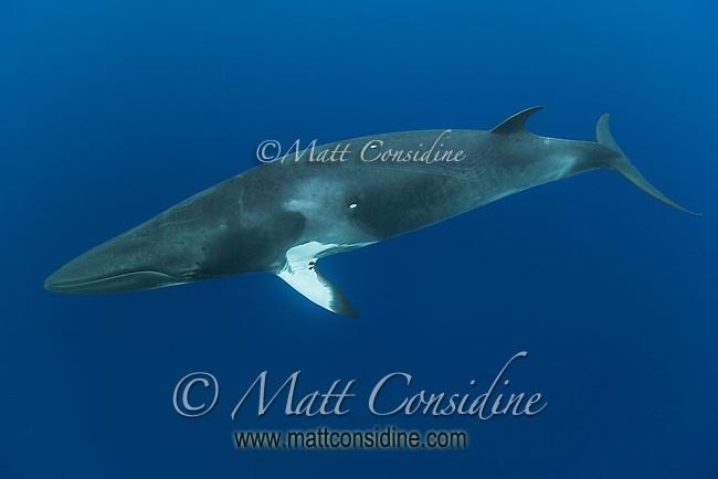 Minke about to dive. (Photo by Wildlife Photographer Matt Considine)