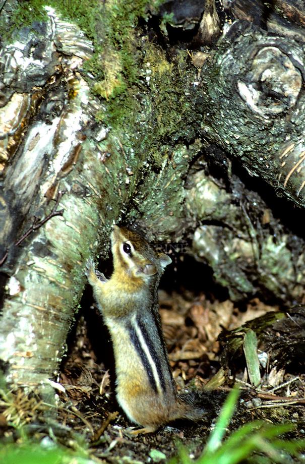 Kleine chipmunk (Eutamias minimus)
