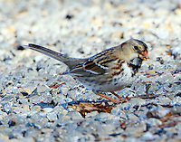 First-winter Harris's sparrow