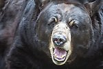 Close-up of black bear with mouth open