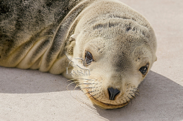 Young California sea lion (Zalophus californianus) pups resting on boat dock.  Central California Coast.