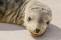 Young California sea lion (Zalophus californianus) pups resting on boat dock.  Central California Coast.