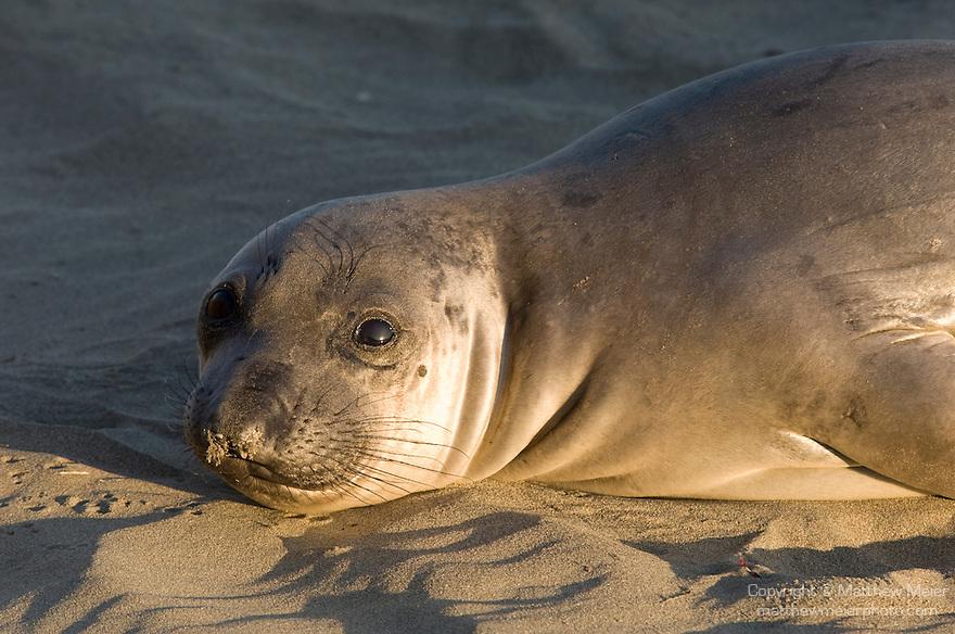 San Simeon, California; Northern Elephant Seal (Mirounga angustirostris) pup in warm, late afternoon sunlight