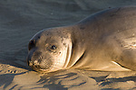 San Simeon, California; Northern Elephant Seal (Mirounga angustirostris) pup in warm, late afternoon sunlight