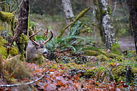 Columbian black-tailed deer (Odocoileus hemionus columbianus) large buck on rainy fall day.  Olympic National Park, WA.  November.