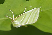 Green Silver-lines Pseudoips prasinana Length 16-18mm. A beautiful and colourful moth that rests with its wings in a tent-like manner. Adult has bright green forewings with diagonal white cross lines; typically, the wing margins and legs are flushed red. The hindwings are yellowish in the female and white in the male. Flies June–July. Larva feeds on deciduous trees and shrubs, notably oaks, birches and Hazel. Widespread and locally common in central and southern Britain; more local further north.
