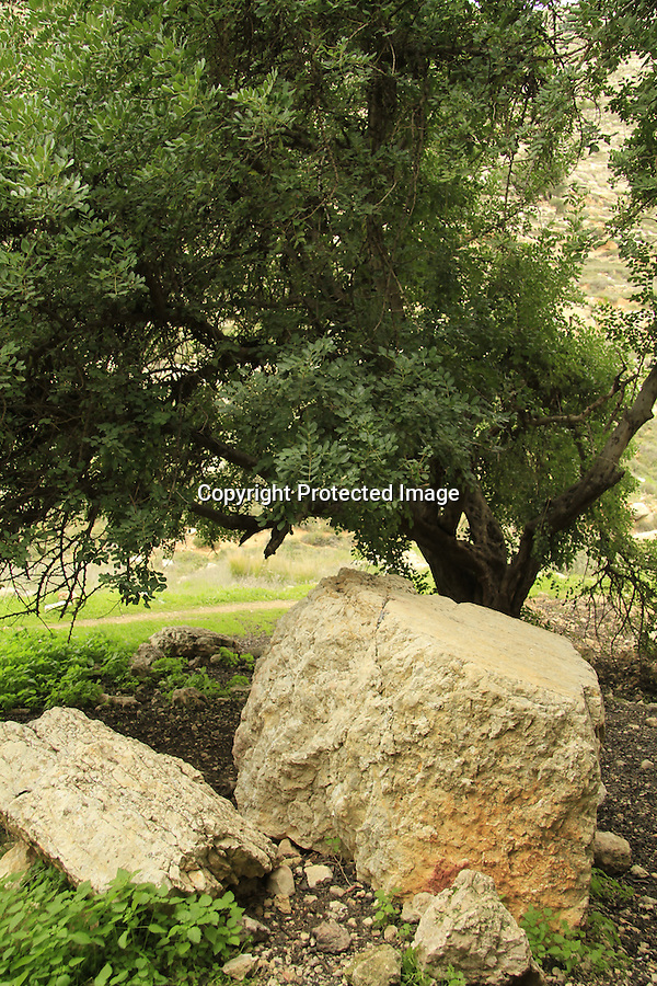 Israel, Jerusalem Mountains, Carob tree in Ein Kfira