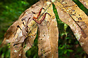 Dead Leaf Mantis (Deroplatys dessicata) camouflaged against vegetation. Danum Valley, Sabah, Borneo, Malaysia. May.