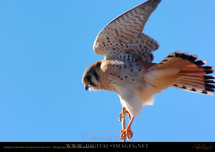 American Kestrel Male Regaining His Balance, Bosque del Apache Wildlife Refuge, New Mexico