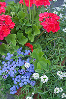 Patriotic Red, white and blue color theme garden of annuals with red geraniums Pelargonium, white Iberis, blue Ageratum