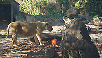 Asiatic lion (Panthera leo persica) is seen with Halloween pumpkin zoo keepers feed them as a Halloween treat in Zoo Budapest and Botanical Garden in Budapest, Hungary on October 31, 2019. ATTILA VOLGYI