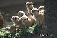 0329-1019  Meerkat Group on Lookout with Baby (Pup), Suricata suricatta  © David Kuhn/Dwight Kuhn Photography.