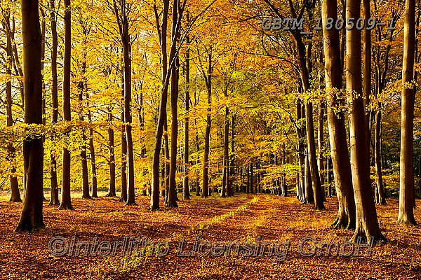 Tom Mackie, LANDSCAPES, LANDSCHAFTEN, PAISAJES, photos,+Britain, British, East Anglia, England, English, Europe, European, Great Britain, Norfolk, Thetford, Tom Mackie, UK, atmosphe+re, atmospheric, autumn, autumnal, beech, color, colorful, colour, colourful, composition,country lane, deciduous, dramatic o+utdoors, environment, environmental, fagus, fall, forest, gold, golden, horizontal, horizontals, inspiration, inspirational,+inspire, landscape, landscapes, lane, leading lines, leaves, mood, moody, path, pathway, p,Britain, British, East Anglia, Eng+,GBTM180509-1,#l#, EVERYDAY