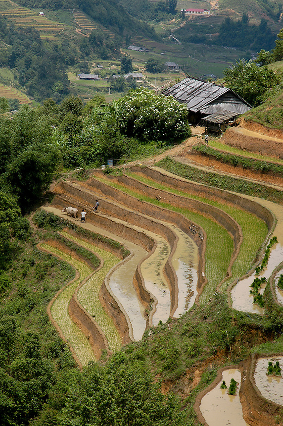 Hmong tribal people work the rice terrances near Sapa Vietnam.