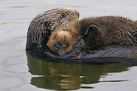 "Sea Otter (Enhydra lutris) mother with sleeping pup.  Young pups have light brown or yellowish fur called the ""natal pelage.""  This fluffy fur helps the pup stay afloat before it learns the intricacies of swimming, and it will be completely replaced with dark brown adult fur by the time the pup is about three months old."