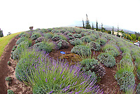 One of the many scenic gardens at Alii Kula Lavender farm at the base of Haleakala, Kula