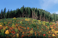 Autumn landscape of a clear-cut hillside that was replanted with resilient Western Red cedar and White pine trees. Williamette National Forest, Oregon.
