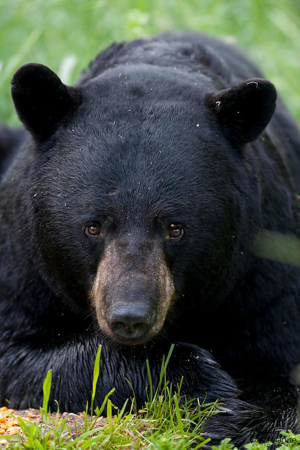 Pensive, large Black Bear Male, Orr, Minnesota
