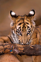 683999055 a bengal tiger cub panthera tigris a wildlife rescue animal chews on a log with a peacock feather at a wildlife rescue facility - species is highly endangered in the wild