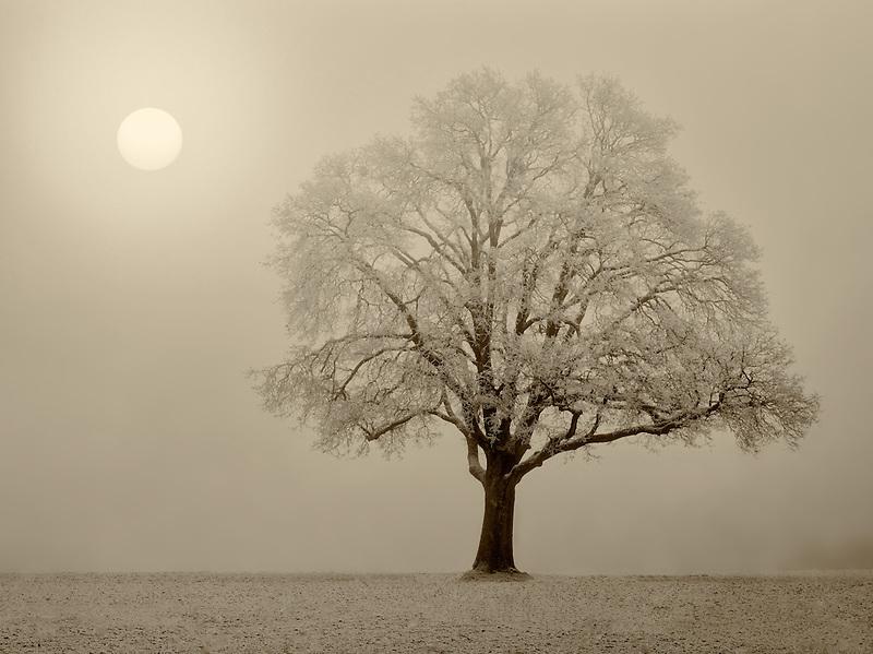 Lone oak tree in field. Wilsonville, Oregon
