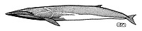Fin whale, Balaenoptera physalus, lateral view, pen and ink illustration.
