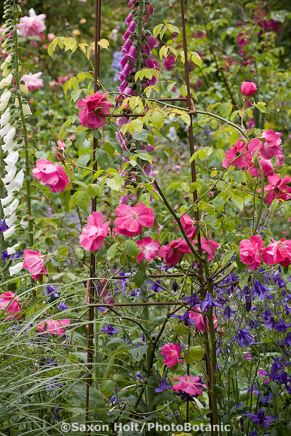 Hybrid Musk Rose (Rosa) 'Vanity' pink flower on wire trellis in California country garden with blue columbine and white and purple foxglove