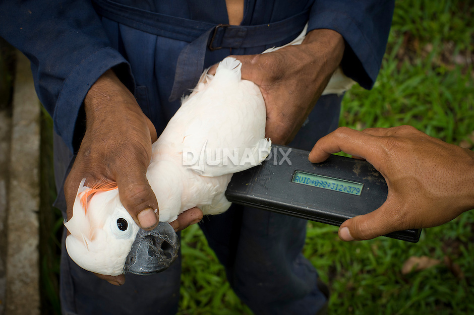 A microchip IDs a Seram cockatoo at the Masihulan Wildlife Rehabilitation Center. Rescued from an illegal wildlife trade, birds here undergo rehabilitation before release into their native forests.