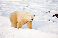 01874-108.20 Polar Bear (Ursus maritimus) near Hudson Bay, Churchill  MB, Canada