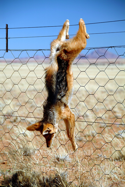 Black-backed jackals are often killed by farmers and hung on fences to deter other predators from attacking and killing livestock.