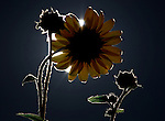 Sunflowers are lit by the full moon rising in Gardnerville, Nev., on Sunday, Aug. 14, 2011..Photo by Cathleen Allison
