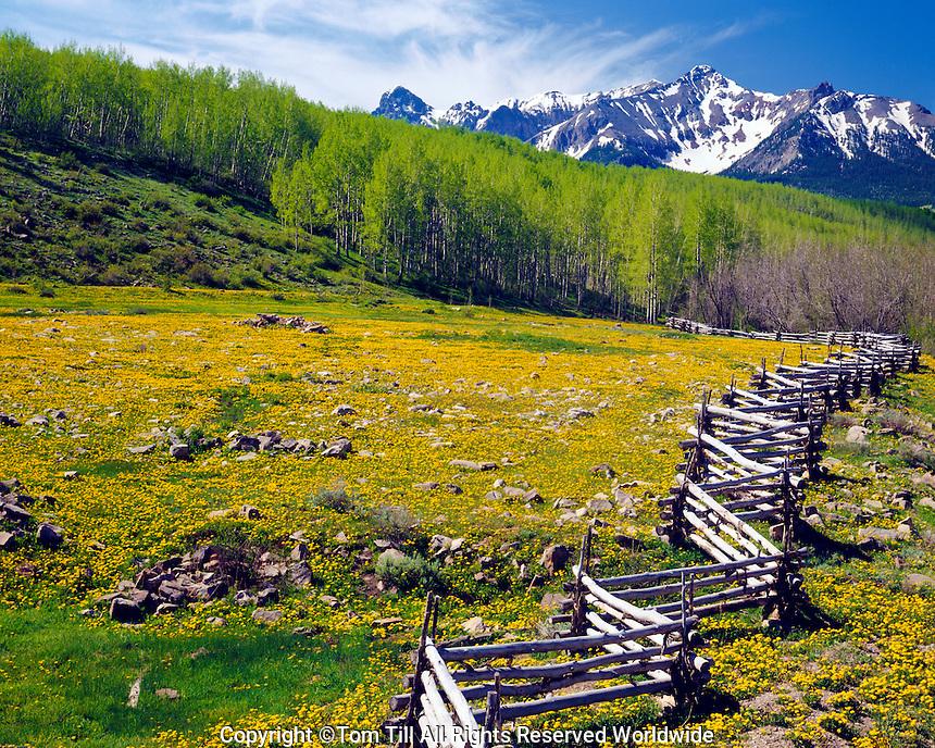 Log fence and mountain dandelion, San Juan Mountains, Colorado, Sneffels Range, Uncompahgre National Forest, morning, June