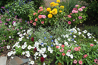 Heirloom and old-fashioned Annuals marigolds, zinnias, bachelor buttons, petunias, salvia farinacea, with blue flowers, pink, yellow, lavender, in summer garden