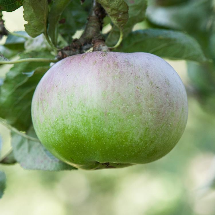 Apple 'Ballarat Seedling', late September. A 19th century Australian dual-purpose culinary-dessert apple from Soldier's Hill, Ballarat, Victoria.