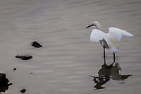 A Snowy egret barely ripples the water while landing at the San Leandro Marina on San Francisco Bay.