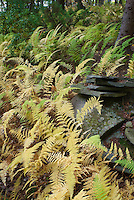 Hay-scented fern - Dennstaedtia punctilobula in autumn fall color
