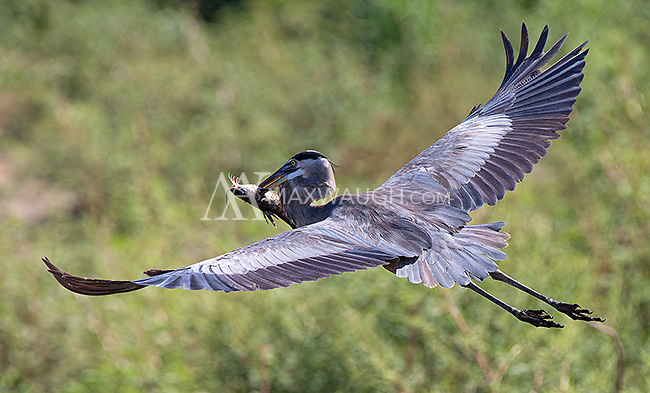 A great blue heron flies off with a catfish.