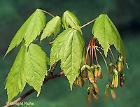 MP03-013a  Red Maple Leaves and developing seeds - Acer rubrum