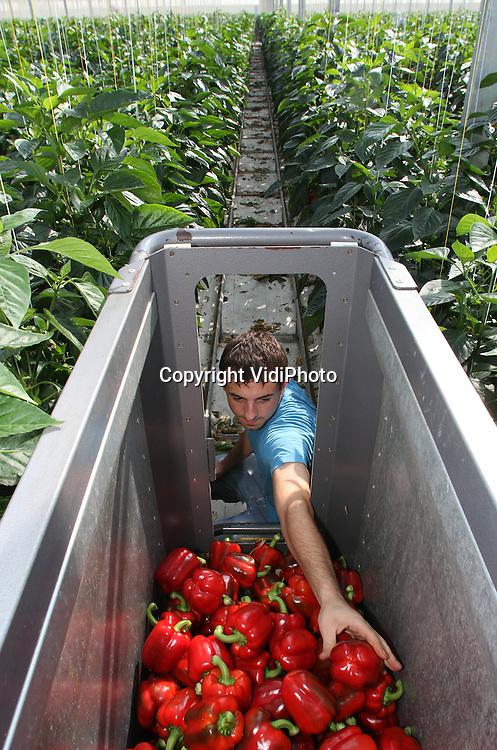 Foto: VidiPhoto..BEMMEL - De rode paprika's van Hollandse bodem liggen weer in de schappen van de supermarkten. Paprikateler Van der Harg van Winden uit Bemmel is dinsdag begonnen met de oogst van de 14 miljoen stuks rode paprika's. Tot eind oktober wordt door Poolse werknemers en personeel van een sociale werkplaats uit de buurt, bij Van der Harg geoogst. Er wordt door de Nederlandse paprikatelers al enkele jaren onder de kostprijs gewerkt vanwege overproductie van paprika's in Europa. .