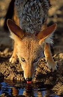 Blackbacked Jackal (Canis mesomelas), Kgalagadi Transfrontier Park, Kalahari, Northern Cape, South Africa, Africa