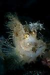Weedy scorpionfish portrait, Rhinopias frondosa, Lembeh Strait, Manado, North Sulawesi, Indonesia, Pacific Ocean