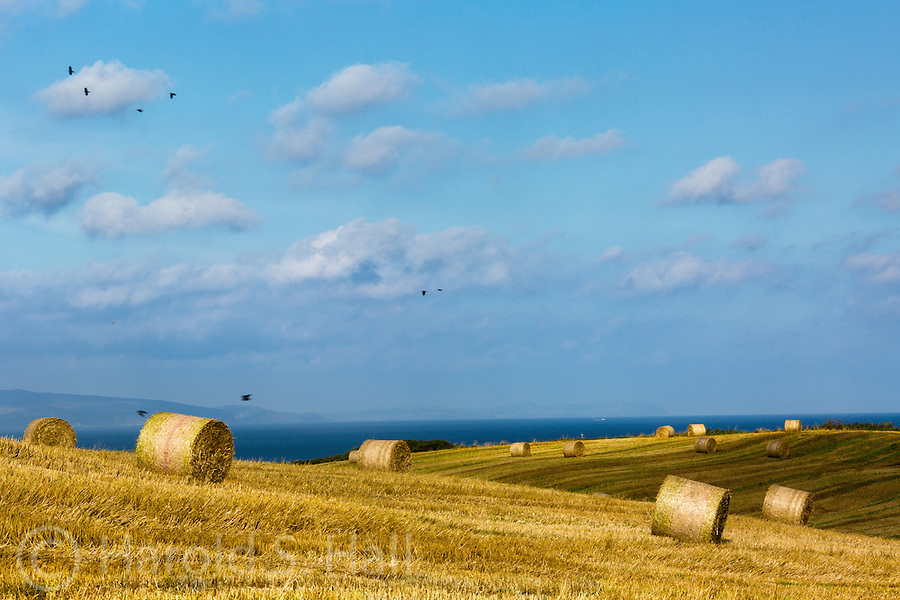 Near Bushmills in Northern Ireland hay is harvested and rolled into bales for the winter feeding of livestock.  Crows are flying by in the common autumn scene in the farming community.