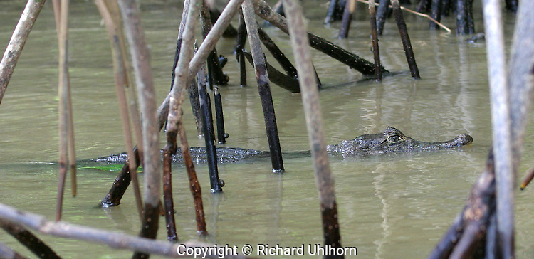 This small crocodilian lives in humid tropic lowlands within rivers, streams, canals, marshes, and swamps. It can also live in water near the ocean. The caiman is more common in areas with high rainfall. In Costa Rica it is found only in the lowlands up to 200 m.
