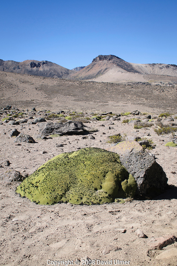 Somewhere between a broccoli and a sponge in appearance, the rare and endangered Yapat plant resides at high altitude in the Peruvian Andes mountains.