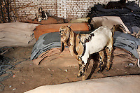 Goats stand amongst piled-up leather in a small and informal leather-producing tannery in Kanpur.