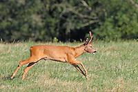 Europäisches Reh, Rehwild, Reh-Wild, Rehbock, Männchen, Bock, Reh-Bock, Capreolus capreolus, European roe deer, western roe deer, roe deer, Le chevreuil