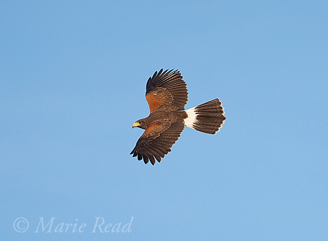 Harris's Hawk (Parabuteo unicinctus), adult in flight, Rio Grande Valley, Texas, USA