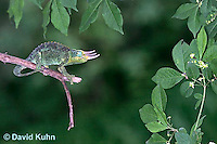 "1106-07pp  Jackson chameleon ""Hunting for Prey"" - Chamaeleo jacksonii - © David Kuhn/Dwight Kuhn Photography"