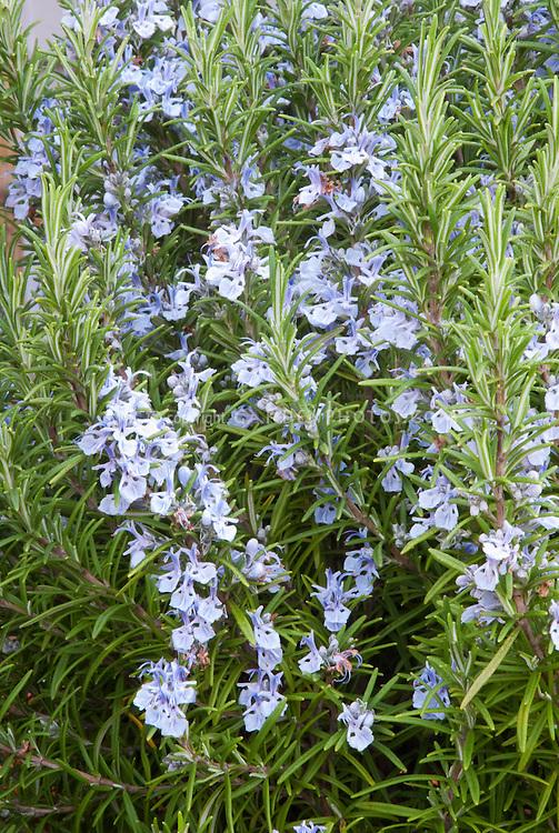 Rosemary Blue Spires essential oil herb Rosmarinus officinalis in bloom